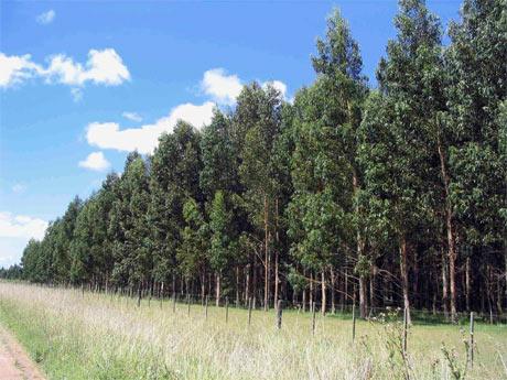 Forestry in Uruguay