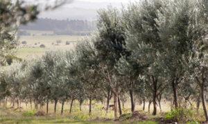 Extra Virgin Olive Oil Made in Uruguay
